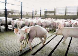 ليست «الكٌلية» فقط... 4 أجزاء من جسم الخنزير زرعت في جسد الإنسان وعملت بنجاح